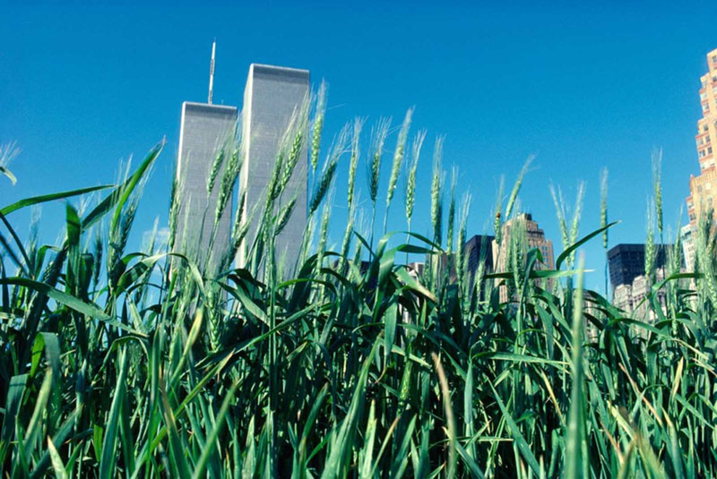 wheatfield by agnes denes 6 In 1982, An Artist Harvested Two Acres of Wheat on Land Worth $4.5 Billion