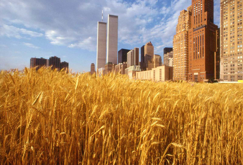 wheatfield by agnes denes 71 In 1982, An Artist Harvested Two Acres of Wheat on Land Worth $4.5 Billion