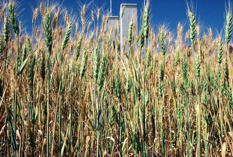 wheatfield by agnes denes 8 In 1982, An Artist Harvested Two Acres of Wheat on Land Worth $4.5 Billion