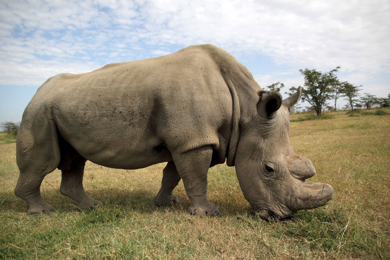 worlds last white rhino sudan dies Sudan, the Worlds Last Male Northern White Rhino, Dies at 45