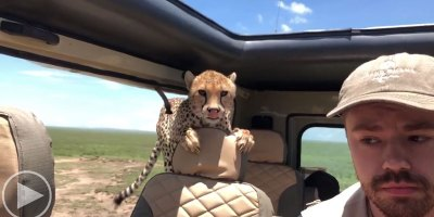Guy On Safari Has Extremely Close Encounter With Cheetah In The Serengeti