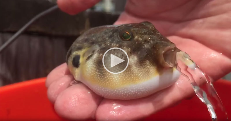 in case you ve never seen a puffer fish releasing water before