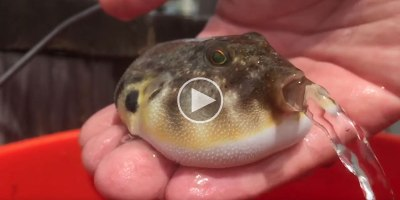 In Case You've Never Seen a Puffer Fish Releasing Water Before
