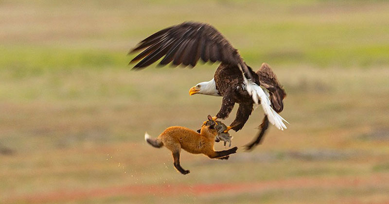 Photographer Captures Mid-Air Food Fight Between Eagle and Fox