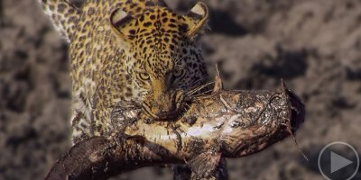 Rare Footage Shows Family of Hungry Leopards Teaching Themselves How to Fish
