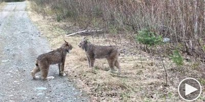 Man Stumbles Upon Two Lynxes Having an Intense Debate About Politics