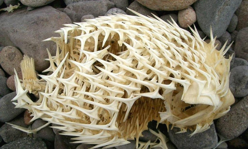 In Case You've Never Seen a Porcupinefish's Skeleton Before