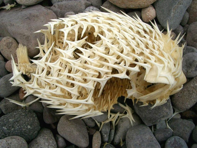 pufferfish blowfish porcupinefish skeleton In Case Youve Never Seen a Porcupinefishs Skeleton Before