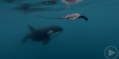 Diver Captures Rare Footage of Orca Deftly Using Tail to Stun Stingray