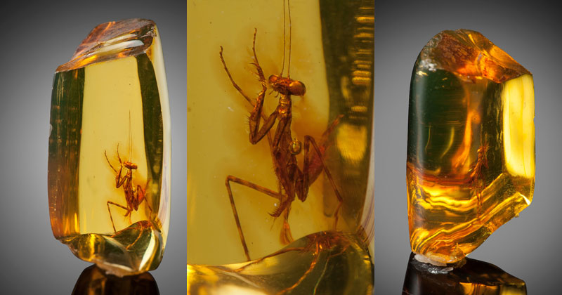 a 12 million year old praying mantis encased in amber 1 A 12 Million Year Old Praying Mantis Encased in Amber