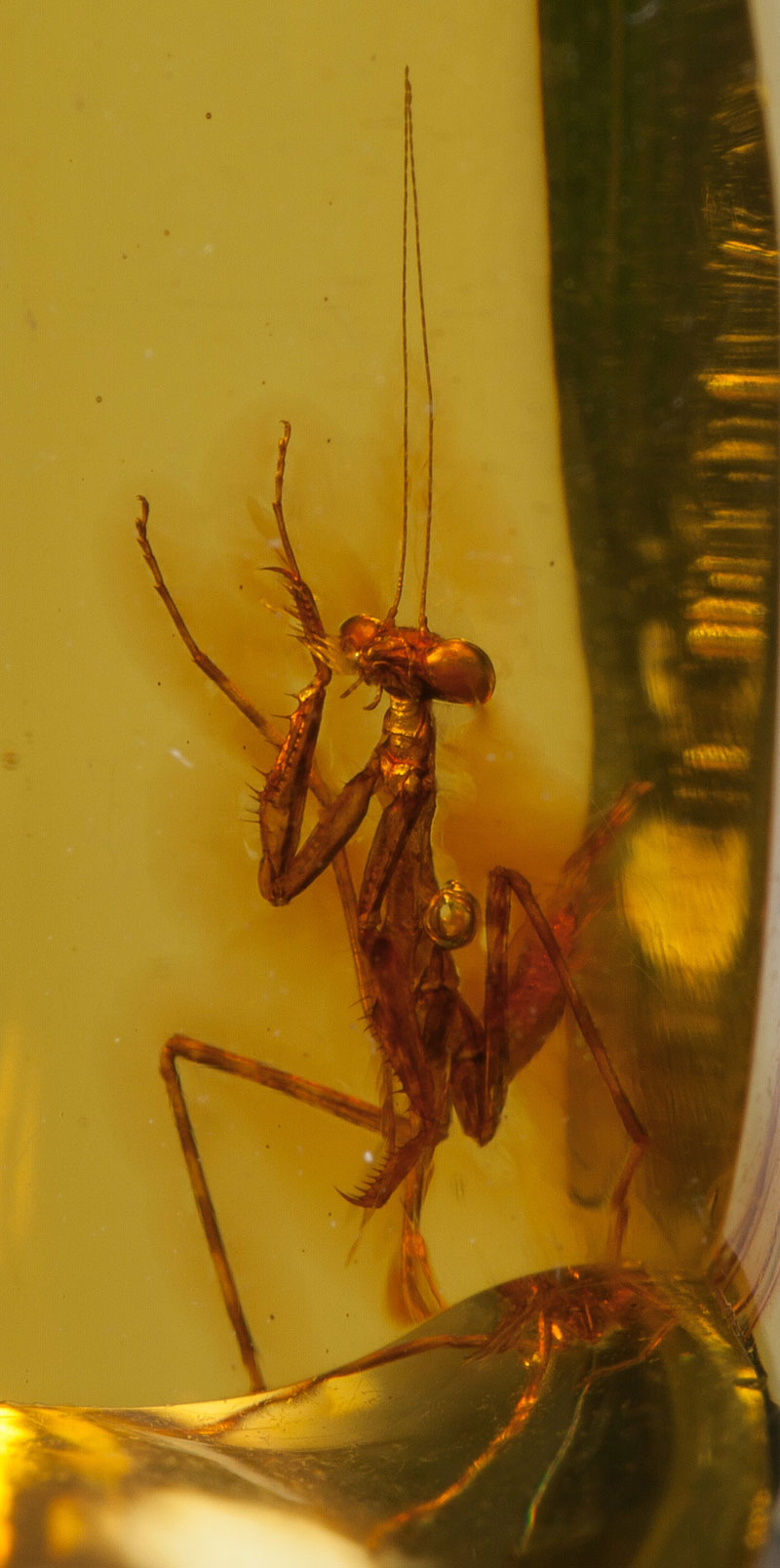a 12 million year old praying mantis encased in amber 4 A 12 Million Year Old Praying Mantis Encased in Amber