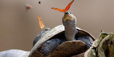 Amazing Video Shows Butterflies in the Amazon Drinking TurtleTears