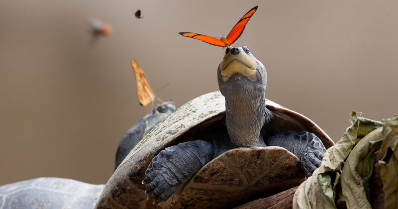 Amazing Video Shows Butterflies in the Amazon Drinking Turtle Tears