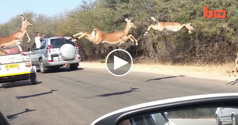 Impalas Fly Across Road in Kruger and One Leaps Into a Car to Avoid Cheetah