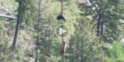 If You've Never Seen How Fast Bears Can Climb Trees You Need to See This