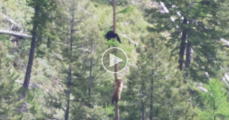 If You've Never Seen How Fast Bears Can Climb Trees You Need to SeeThis