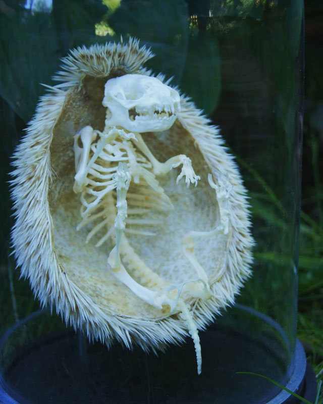 hedgehog skeleton 1 Hedgehog Skeleton is 🔥