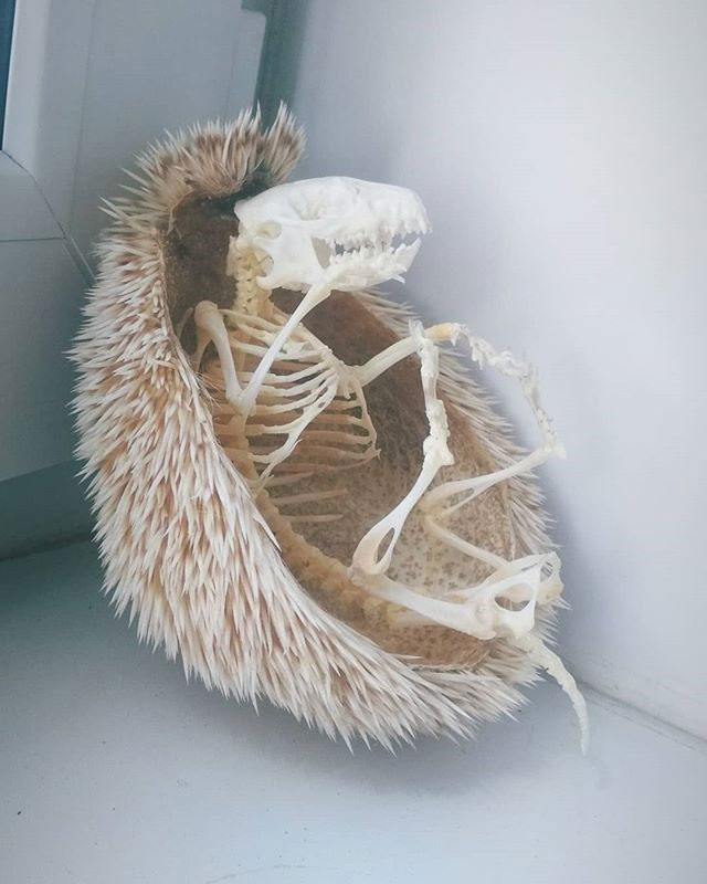 hedgehog skeleton 3 Hedgehog Skeleton is 🔥