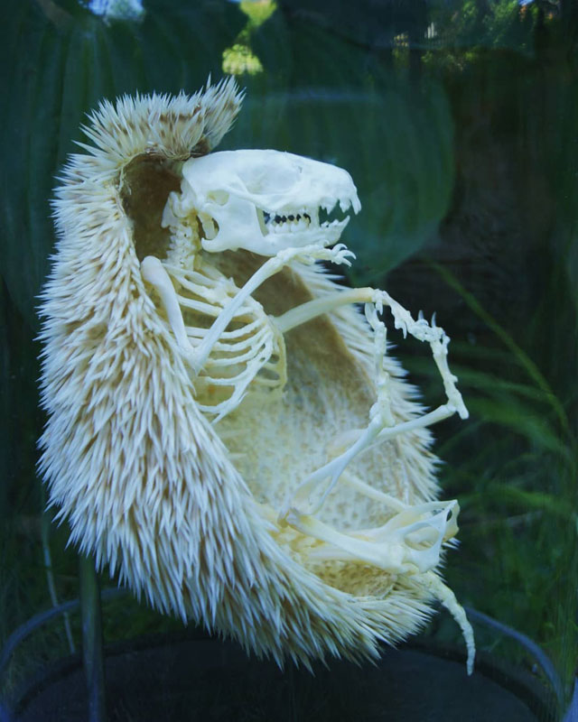 hedgehog skeleton 4 Hedgehog Skeleton is 🔥