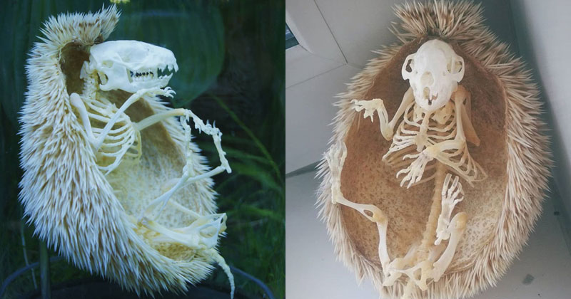 Hedgehog Skeleton is 🔥