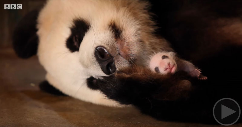 Panda Doesn't Realise She's Had Twins
