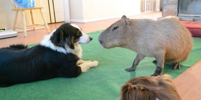 So a Dog and Capybara Walk Into a Room..