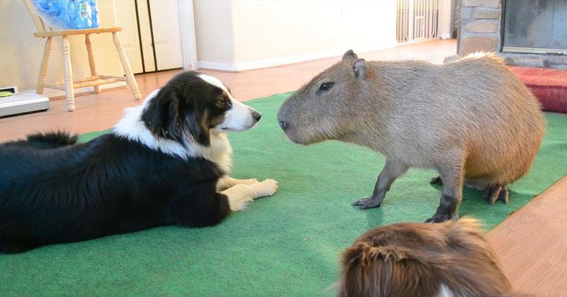 So a Dog and Capybara Walk Into aRoom..