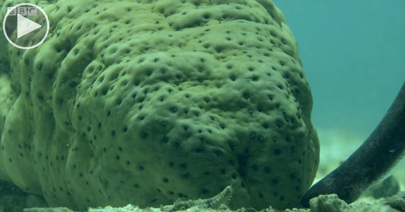 To Avoid Predators, Pearlfish Hide in the One Place Nobody Dares Go