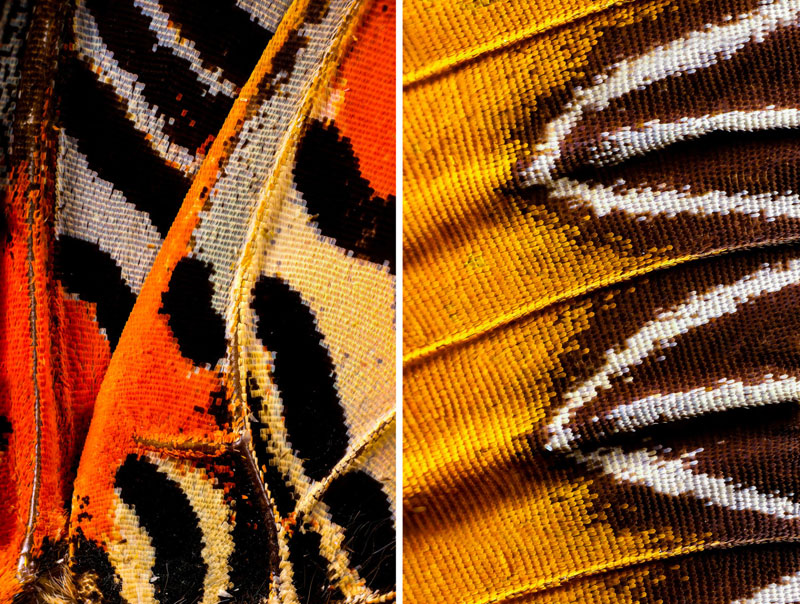 extreme close ups of butterfly wings by chris perani 1 Extreme Close Ups of Butterfly Wings by Chris Perani