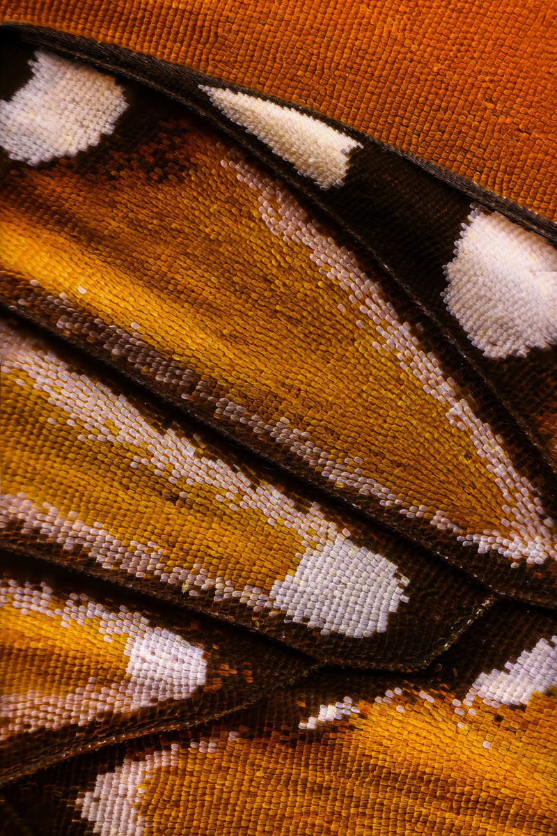 extreme close ups of butterfly wings by chris perani 2 Extreme Close Ups of Butterfly Wings by Chris Perani