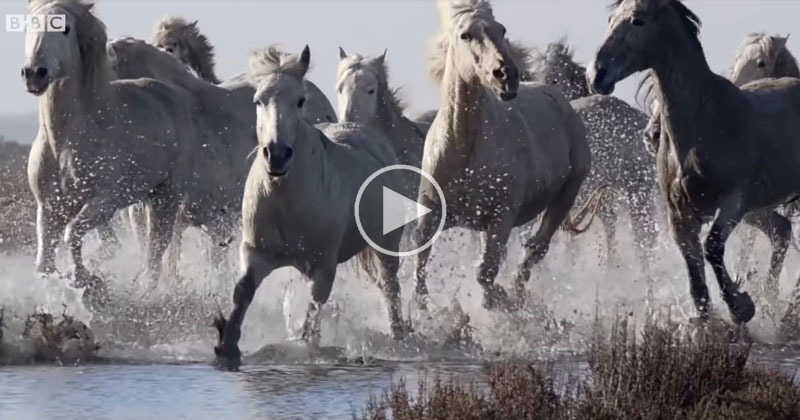 A Pack of Wild Horses Running Slow Mo Through Water is as Majestic as itSounds
