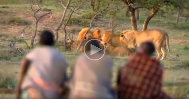 3 Guys Steal Fresh Kill From Pride of 15 Lions With Sheer Confidence