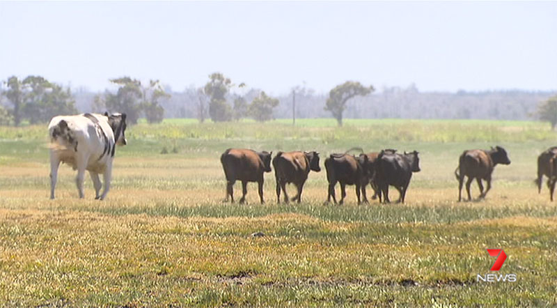 biggest cow steer ever in australia 2 Absolute Unit Deemed Too Big for Abattoir Will Live Out Its Days Grazing