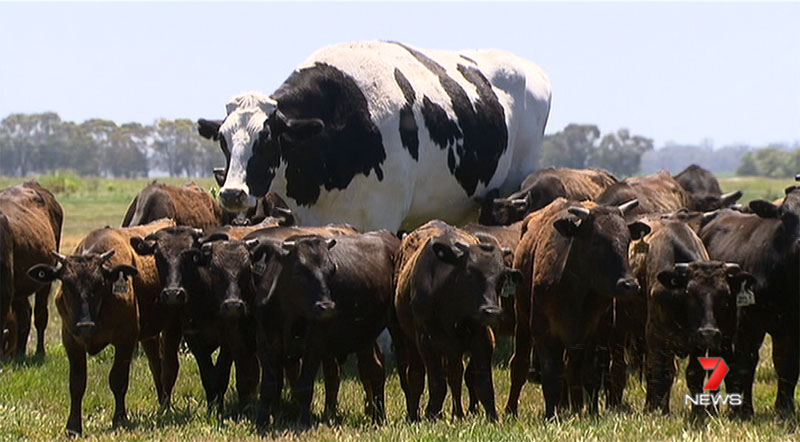 biggest cow steer ever in australia 4 Absolute Unit Deemed Too Big for Abattoir Will Live Out Its Days Grazing