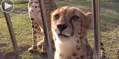 Cheetahs Can't Roar, So Instead They Sound LikeThis