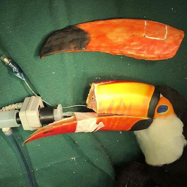veterinario 3d stampa nuovo becco per il tucano ferito 1 veterinario 3D stampa un nuovo becco per il tucano ferito