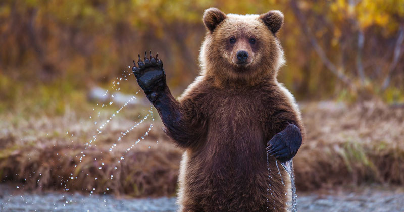 bear waving The 50 Bestest Gifs of 2018 (aka The Shirk Report Volume 506)