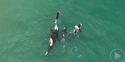 Drone Captures Lone Swimmer Amongst Pod of Orcas FromAbove