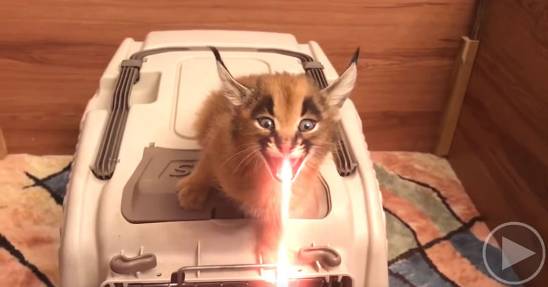 Apparently Laser Sound FX Were Inspired by Baby Caracals