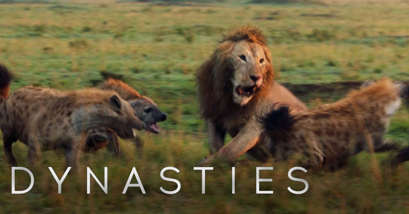 Lion Takes on 20 Hyenas in Intense Showdown – Full Clip (withEnding)