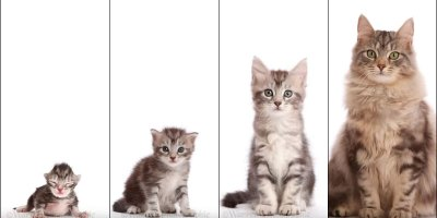 This Morphing Timelapse from Kitten to Adult is InternetCatnip