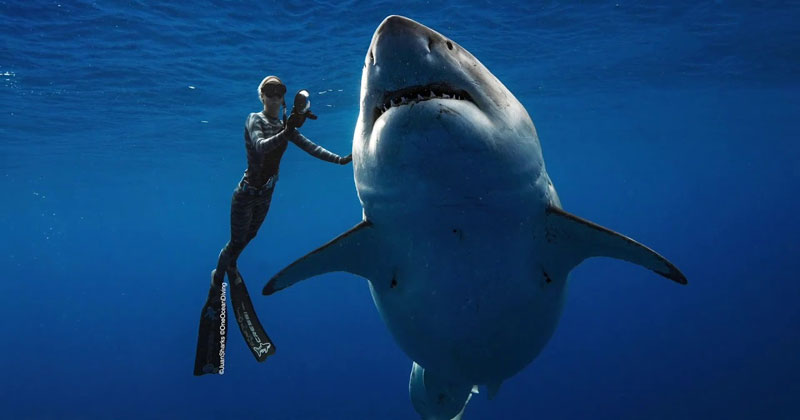 Ocean Ramsey Goes Freediving With World's Largest Known GreatWhite