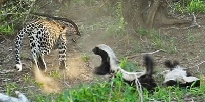 Honey Badger Mom Saves Her Baby From the Jaws of a HungryLeopard