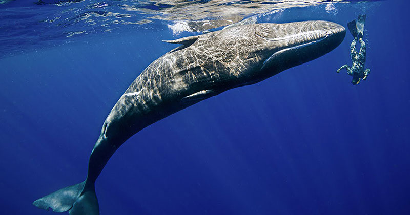 Amazing Footage Shows Sperm Whale Mimicking a Diver'sSpins
