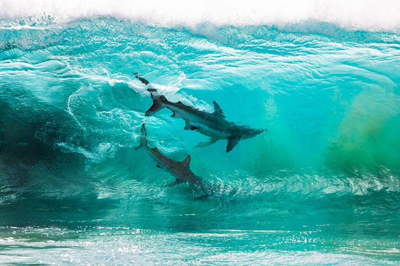 two sharks in a wave by sean scott Photographer Captures Two Sharks Swimming Through a Cresting Wave