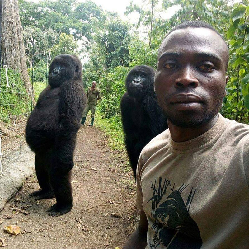 gorilla selfie standing 4 Its Only April and We Already Have the Best Selfie of the Year