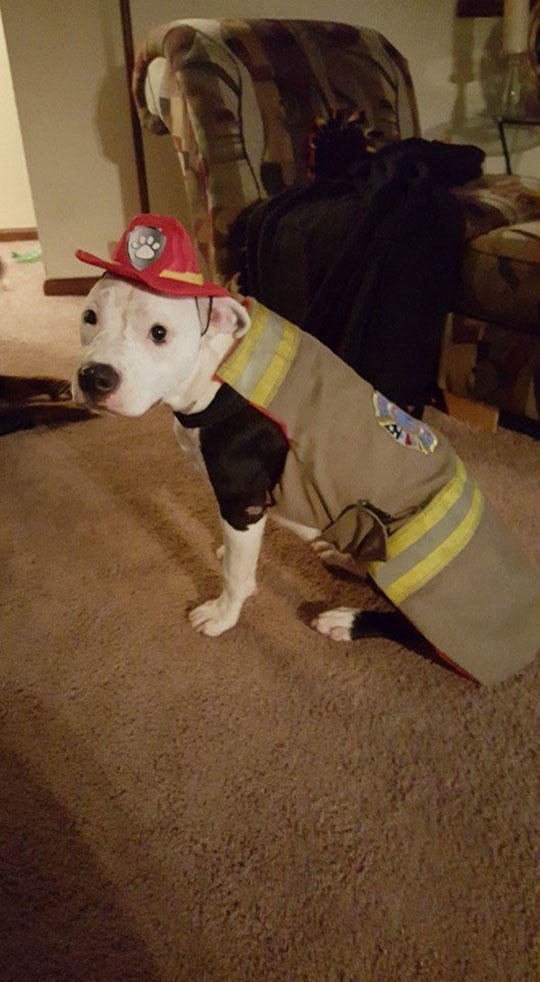 jake the puppy saved from a fire that went on to become a firefighter 13 Jake, the Puppy Saved From a Fire, that Went On To Become a Firefighter