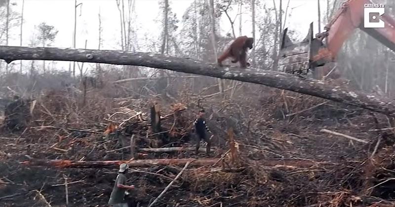 Lone Orangutan Tries to Fight Bulldozer Destroying ItsHome