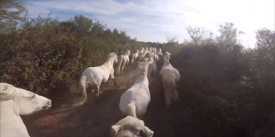 Running With the Wild White Horses of Camargue