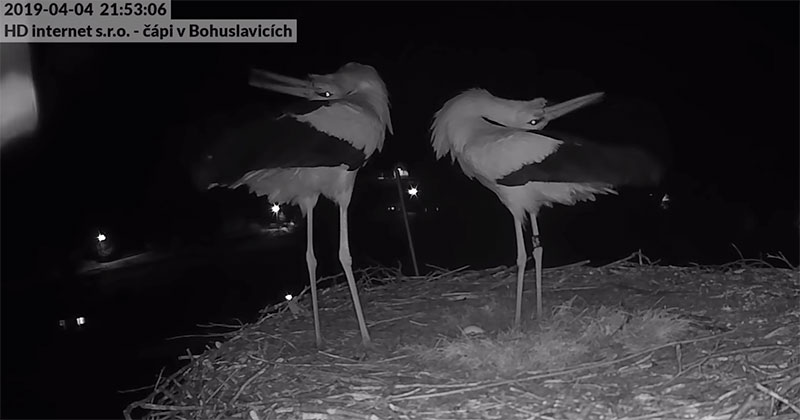 These Storks Had an Interesting Way of Celebrating Their First Egg